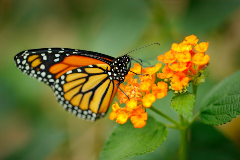 Monarch butterfly in Victor's song flutterby